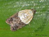 Tortricid Moths - Tortricidae of B.C.