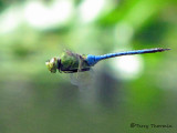 Anax junius - Common Green Darner in flight 2b.jpg