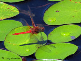 Sympetrum illotum - Cardinal Meadowhawk in flight 1b.jpg