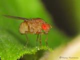 Drosophila melanogaster - Fruit Fly 1a.jpg