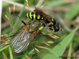 Ancistrocerus antilope - Potter Wasp with root maggot fly 5b.jpg