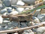 Pygmy Grasshoppers - Tetrigidae of B.C.
