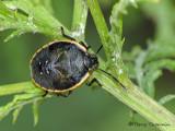 Chlorochroa sp. - Green stink bug nymph B2a.jpg