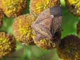 Euschistus conspersus - Brown stink bug 2a.jpg