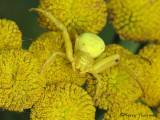 Misumena vatia - Goldenrod Spider 2a.jpg