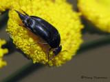 Mordellidae - Tumbling Flower Beetle A2a.jpg