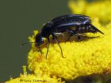 Tumbling Flower Beetle - Mordellidae of B.C.