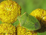 Chlorochroa sp. - Stink bug B1a.jpg