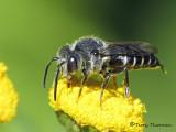 Leaf-cutter bees - Megachilidae of B.C.