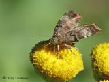 Metalmark Moths - Choreutidae of B.C.
