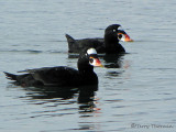 Surf Scoters 12a.JPG