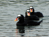Surf Scoters 13a.JPG