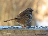 Song Sparrow 14a.jpg