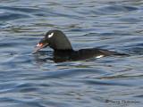 White-winged Scoter 10a.jpg
