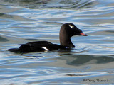 White-winged Scoter 14a.jpg