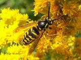 Hornets, Yellowjackets and Potter Wasps - Vespidae