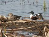 Northern Shoveler pair.JPG