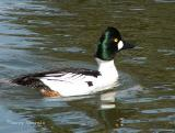 Common Goldeneye 1.JPG