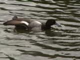 Lesser Scaup stretching.JPG