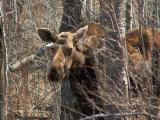 Moose 1.JPG