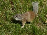 Franklins Ground Squirrel 1.jpg