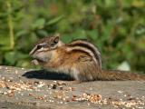 Least Chipmunk 1.jpg