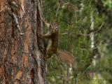Red Squirrel 2.JPG