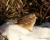 White-crowned Sparrow immature.JPG