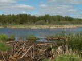 Beaver Dam and Pond near Wakamao Lake.JPG