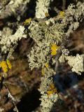 Candelariella vitellina Common Goldspeck Lichen and Usnea sp.jpg