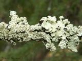 Unidentified Lichens 2.jpg