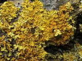 Xanthoria fallax - Powdered Orange Lichen.jpg