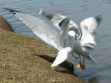 Ring-billed Gulls fighting 1.jpg