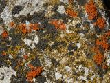 Mixed Lichens on rock 2.jpg