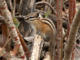Least Chipmunk 6a.jpg