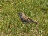 Vesper Sparrow 1.jpg