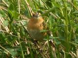 LeContes Sparrow 1a.jpg