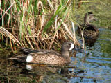 Blue-winged Teal pair 1.jpg