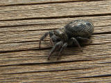 Salticidae - Jumping Spider A1.jpg