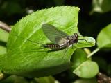Mayflies - Ephemeroptera