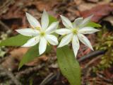 Northern Starflower 3.jpg