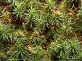 Polytrichum juniperinum - Juniper Hair-cap 2.jpg