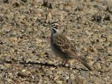 Lark Sparrow 1.jpg