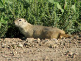 Richardsons Ground Squirrel 1.jpg