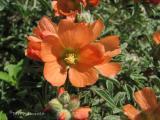 Scarlet Mallow 1.jpg
