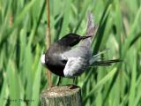 Black Tern 1.jpg