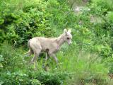Bighorn Sheep calf 1.jpg