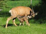 Mule Deer doe and fawn 1.jpg