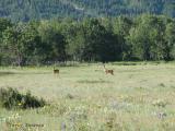White-tailed Deer in meadow 1.jpg