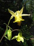 Yellow Columbine 1.jpg